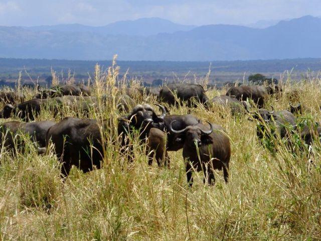 Cape buffalo peering back at us