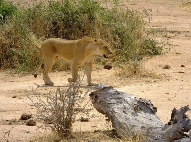 The lions walked within a few feet of us as they made their way to the river.